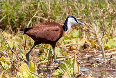 Rails, Herons, Egrets, Cranes and Storks