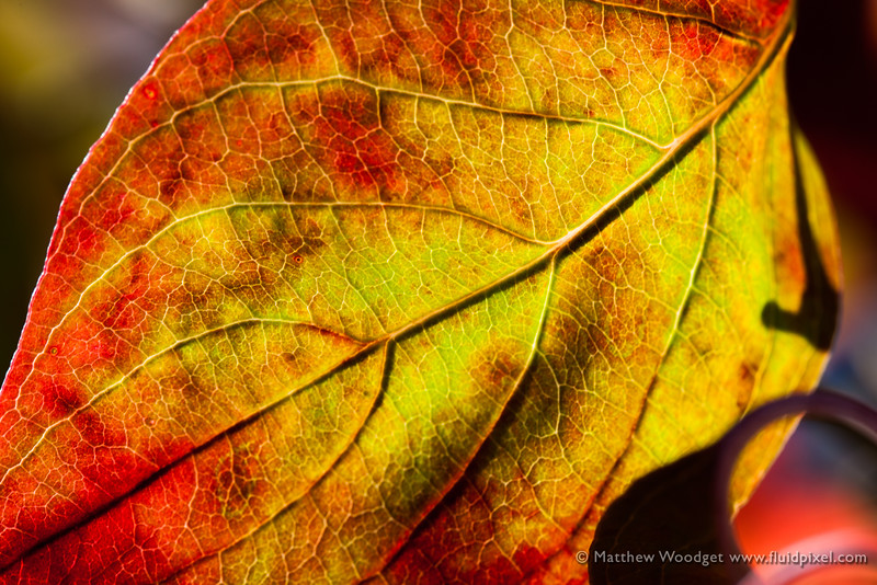 Woodget-140928-073--autumn, back lit, cellulose, green, leaf, macro, macro photography, nature, peaceful, red.jpg