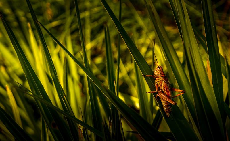 Eastern Lubber Grasshoppers-119.jpg