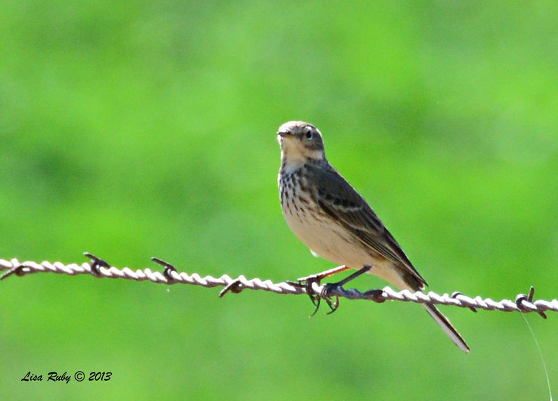 American Pipit - 12/30/13 - Old Milky way