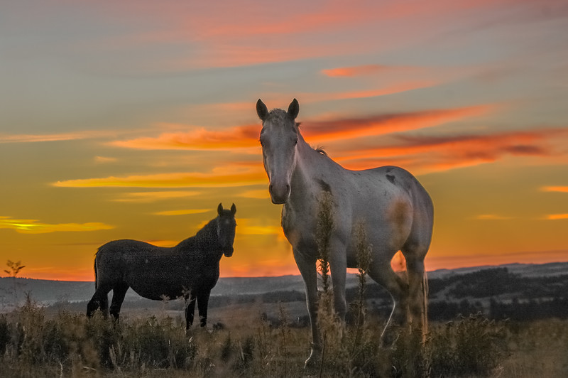 Backlit Wild Horses #3