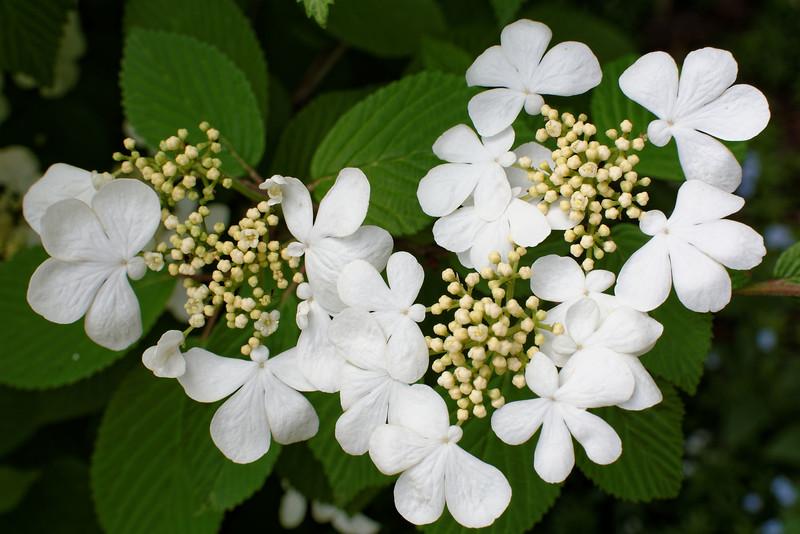 Viburnum - Lace Cap (5).jpg
