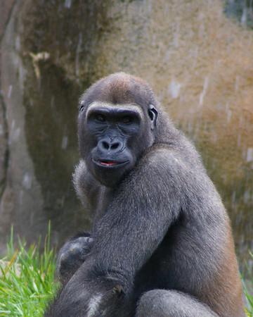 Primates (Apes & Monkeys)