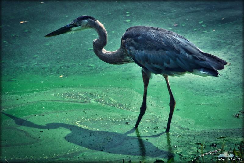 Wildlife-Birds & Fowl