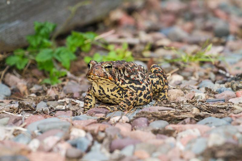 toad American Toad Bufo americanus garden at Skogstjarna Carlton County MN IMG_3482.jpg