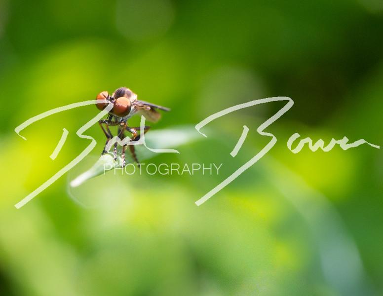 robberfly4.jpg