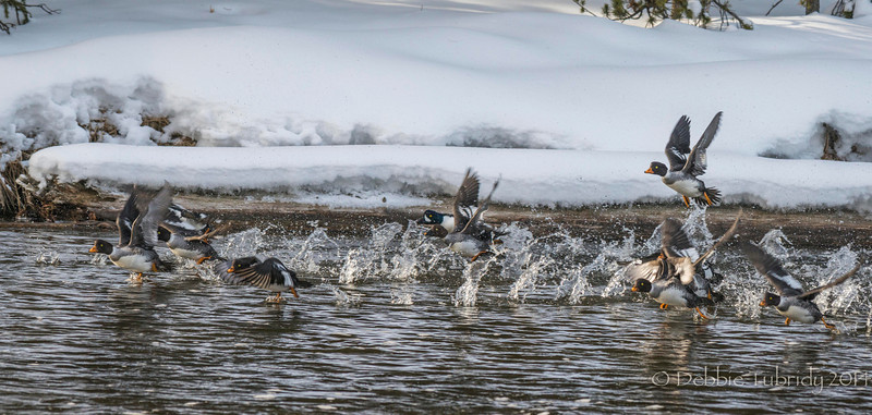 5 O'Clock Whistle Goldeneye ducks on the river Yellowstone National Park, Wyoming © 2014