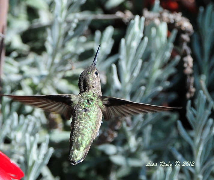 Assume this is a female Anna's Hummingbird - 8/21/2012 - Tracy's house, Escondido