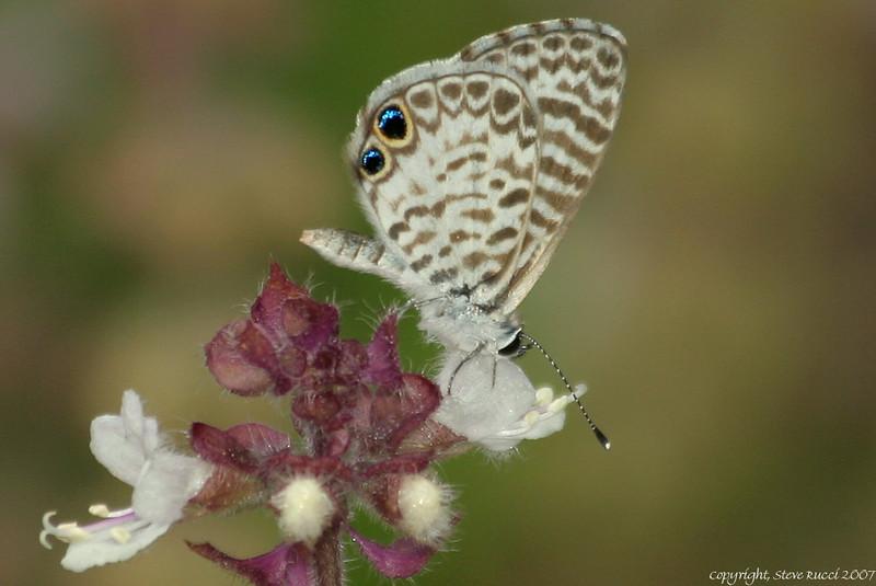 Cassius Blue (Leptotes cassius theonus) Butterfly