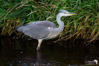 Grey Heron on the Avon Waters, Scotland