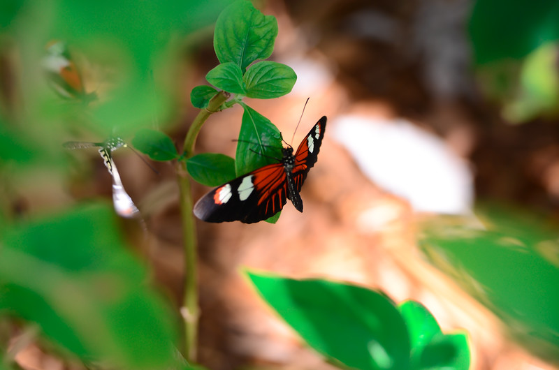 ryle-lenzi-irwin-butterfly-world-florida-on-green-leaf.jpg