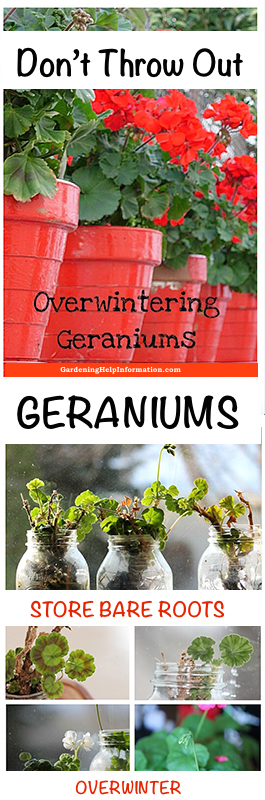 Storing Geraniums in Wintering