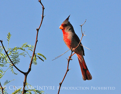 Big Bend Cardinals and Pyrrhuloxias
