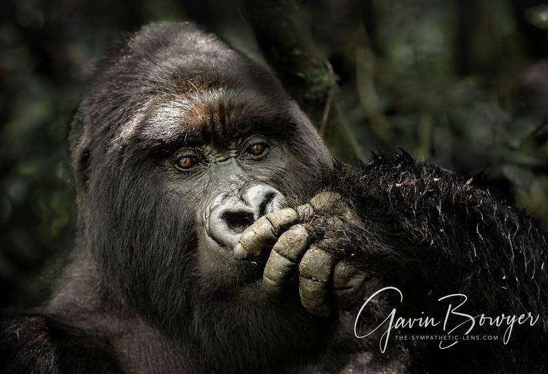gorillas web-10.jpg