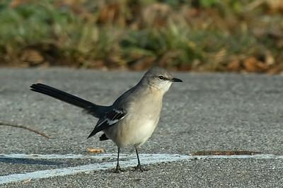 Thrashers, Mockingbird