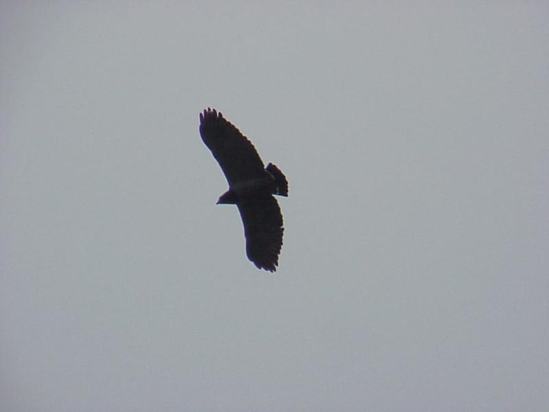 Black-chested Hawk at La Paz Waterfall Gardens Costa Rica 2-10-03-1 (50898050)