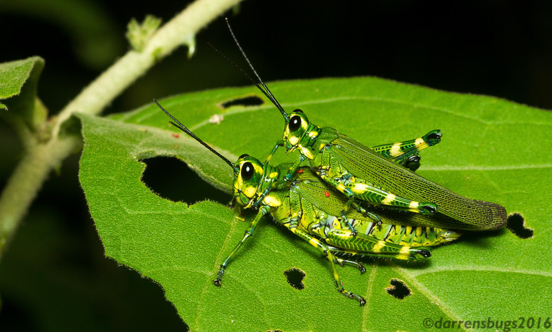 Mating lubber grasshoppers (Romaleidae: Chromacris sp.) from Panama.