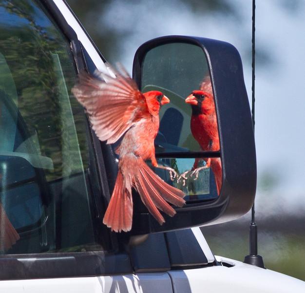 Northern Cardinal  South Texas 2012 03 23-6.CR2