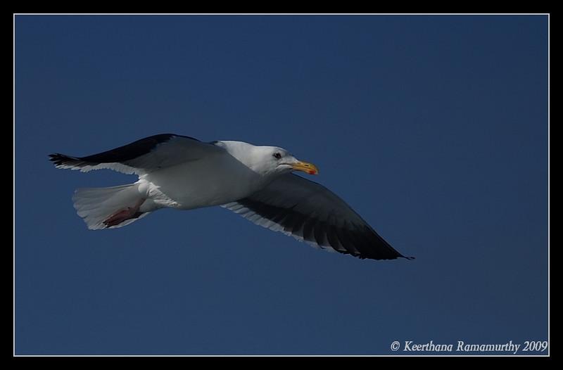Western Gull, Pelagic Trip Pacific Ocean, San Diego County, California, January 2009