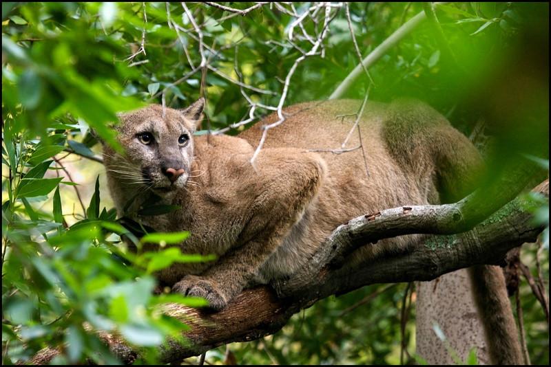 Bay Area Puma Project