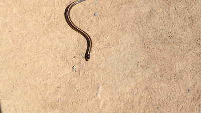 Common Garter Snake (Thamnophis sirtalis) 4/19/2012