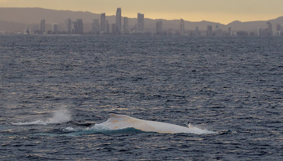 2016 July 26 Gold Coast whale watch - Migaloo!