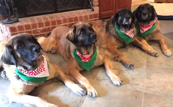 Domi, Bryn (Orange Girl), Tyr, and Tango (mother of B Litter)