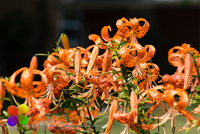 crown of the Tiger Lily section of the garden