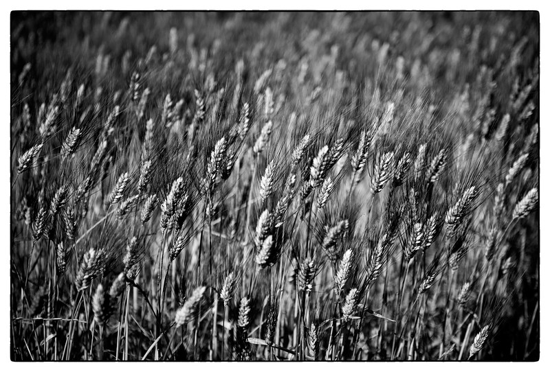 waving wheat.jpg