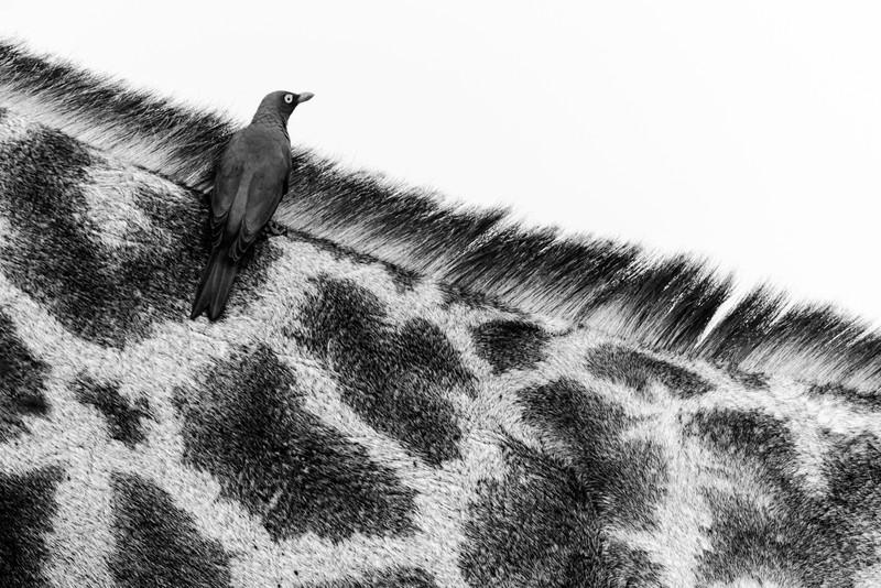 Oxpecker On Giraffe Neck