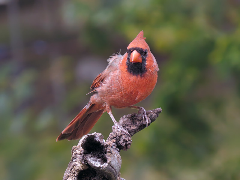 sx50_cardinal_boas_256.jpg