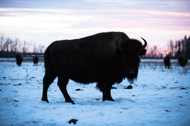 AHP171212_buffalo1364.jpg