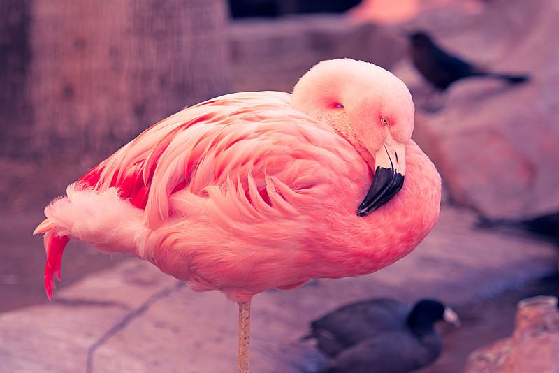 Flamingo at the Flamingo, Las Vegas