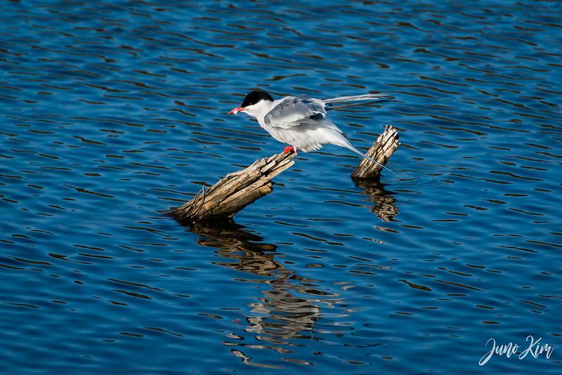 2020-05-12_Potter Marsh bird-_6109722-Juno Kim.jpg