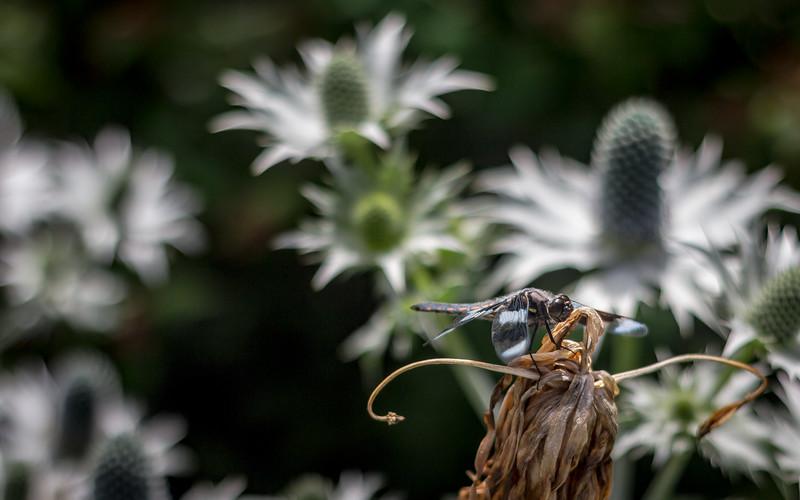 zebra dragonfly.jpg