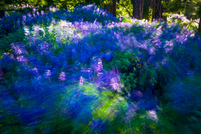 Lupines in Motion