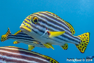 Oblique-banded Sweetlips