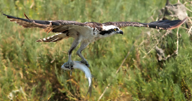 Osprey_With_Fish_2P8E9162.jpg