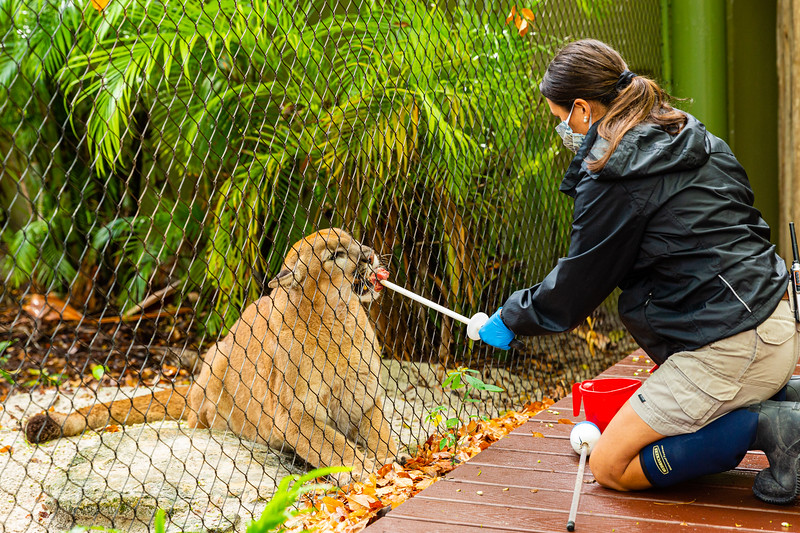 Kelly McCorry, carnivore zoologist at the Palm Beach Zoo in West Palm Beach, feeds Micco, a western cougar on Monday, April 6, 2020. The zoo has been closed since March 18 due to the coronavirus outbreak. [JOSEPH FORZANO/palmbeachpost.com]