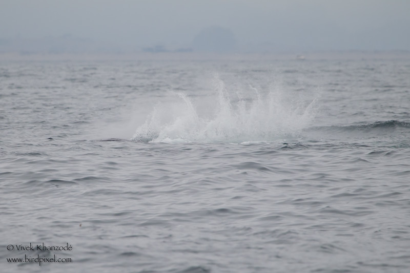 """Humpback Whale """"fin flapping"""" sequence - Near Moss Landing, CA, USA"""