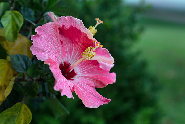 Hibiscus Duo -  July 2013