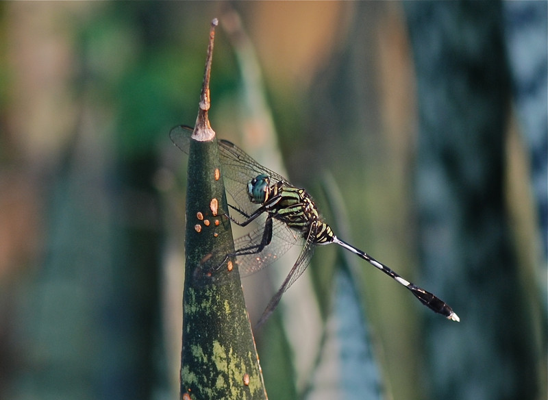 Green Marsh Hawk Dragonfly, Vietnam