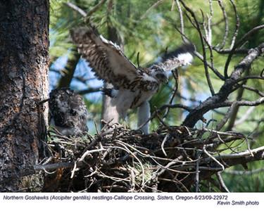 NorthernGoshawksN22972.jpg