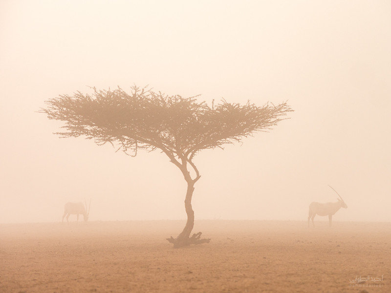Arabian Oryx (27).jpg