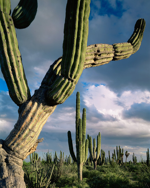 Vizcaino Desert, Baja Sur, MEX/Storm cloud and afternoon light on giant cardon cactus (Pachycereus pringlei). 295V3
