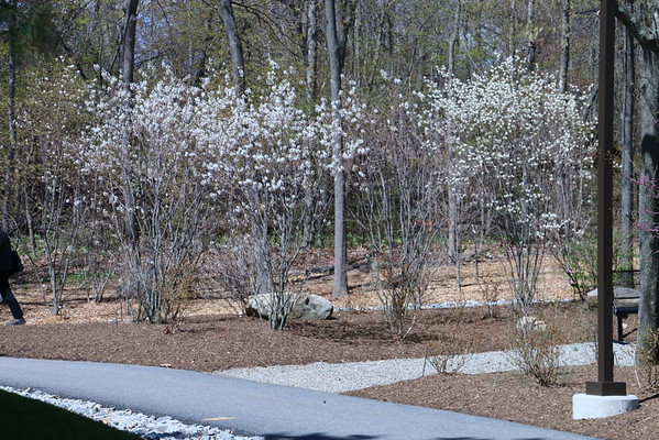April 28 2015 site visit, new trail walk pics, and NE entry photos for design of ramp area.Pics of landscaped walks from Caf to parking lots in bloom.