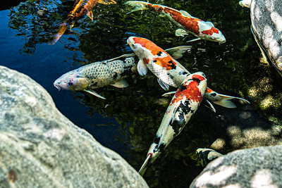 Japanese Friendship Garden/Koi Pond 4/28/21