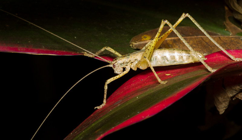 Subadult katydid (Tettigoniidae) from Panama.