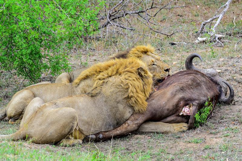 Lion Kill Buffalo_DSC_0747.jpg