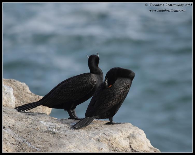 Double-crested Cormorants in breeding plumage, La Jolla Cove, San Diego County, California, April 2012